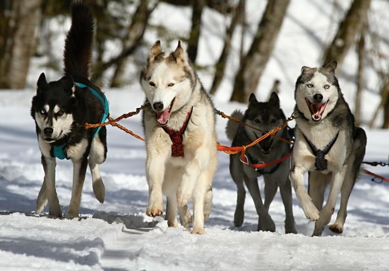 Obrázok: Do Lomnice zavítajú snežné psy