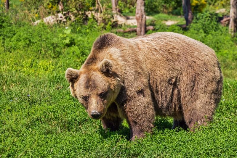 Obrázok: Medvede v Tatrách