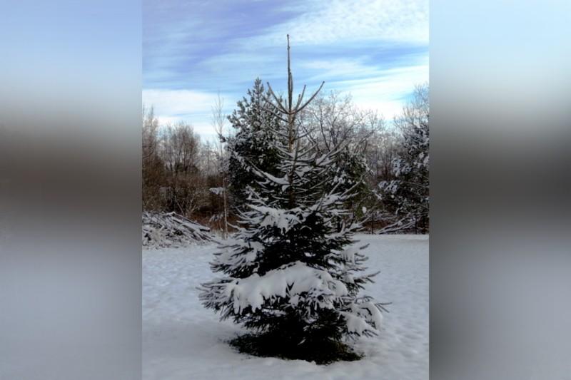 Obrázok: Príďte si po vianočný stromček a pstruha na predvianočný trh